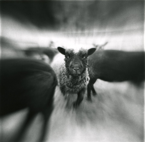 blur_sheep