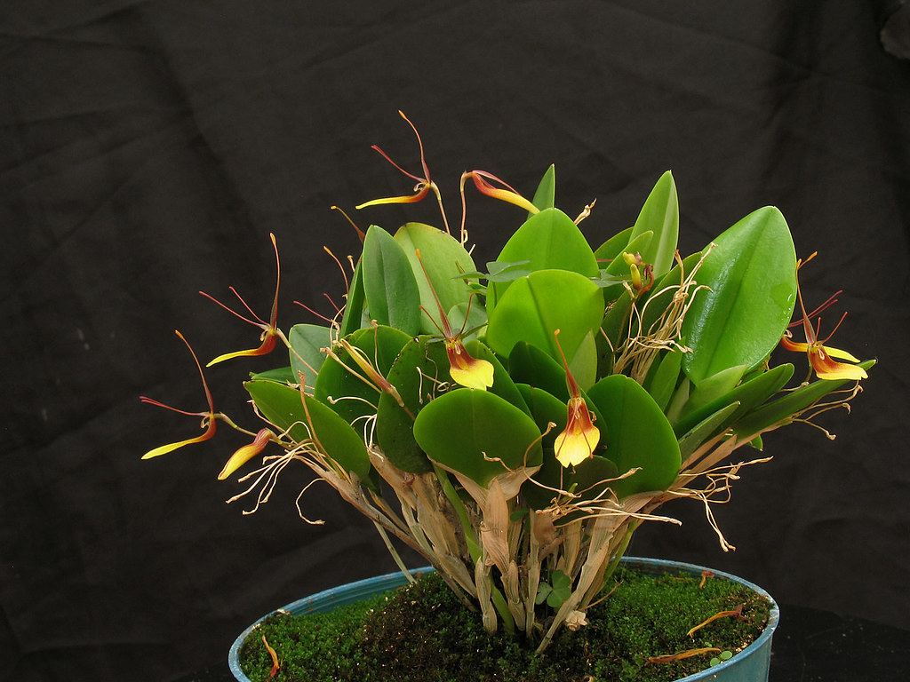 how to choose a restrepia