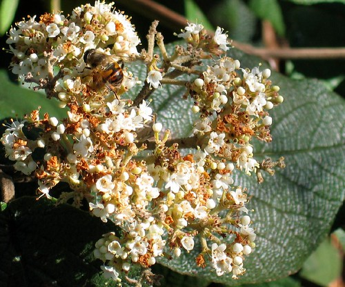 Autumn-blooming (!) Viburnum with Syrphid fly