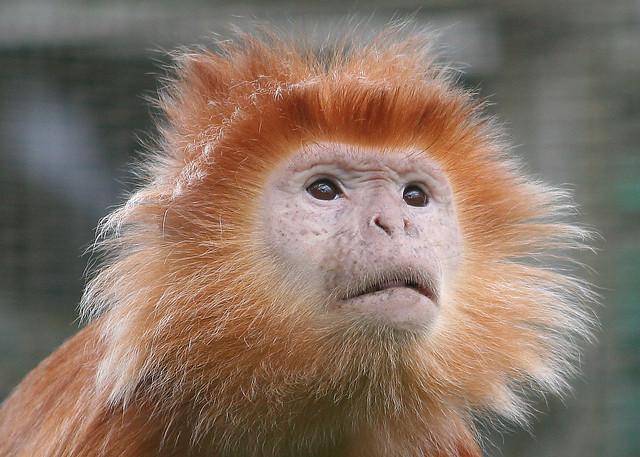 ginger monkey | Flickr - Photo Sharing!