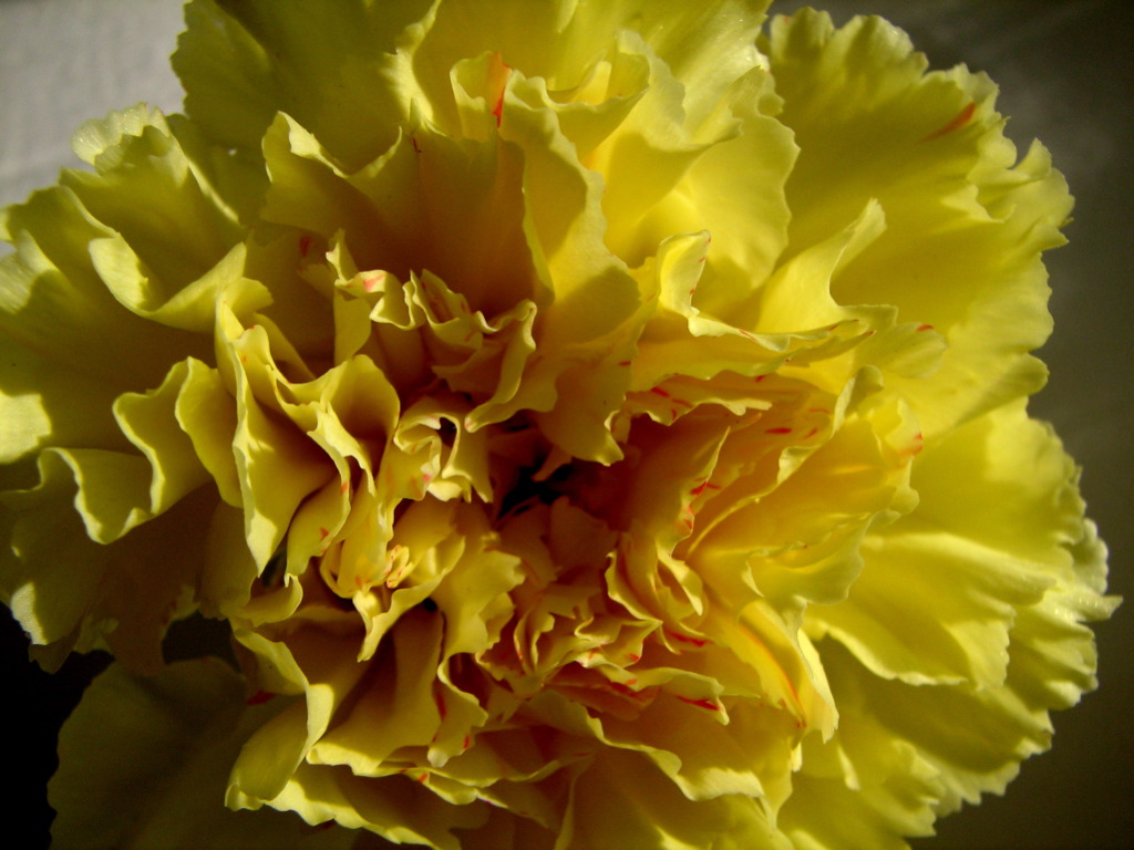 Photo:Carnation On White By:audreyjm529