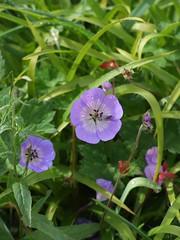 annual plant, geranium, flower, plant, wildflower, flora,