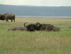 indian elephant(0.0), elephants and mammoths(0.0), tundra(0.0), african elephant(0.0), bison(0.0), cattle-like mammal(1.0), animal(1.0), prairie(1.0), water buffalo(1.0), plain(1.0), mammal(1.0), horn(1.0), herd(1.0), grazing(1.0), fauna(1.0), muskox(1.0), pasture(1.0), savanna(1.0), grassland(1.0), safari(1.0), wildlife(1.0),