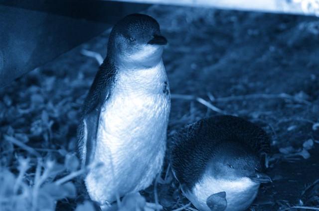 Phillip Island Penguins Coupon