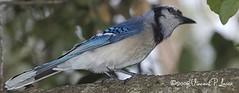 animal(1.0), fauna(1.0), bluebird(1.0), blue jay(1.0), beak(1.0), bird(1.0),
