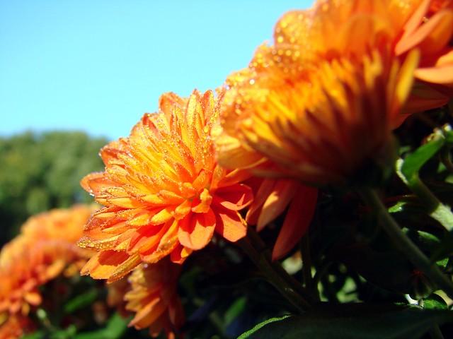 Chrysanthemum Flower Colors