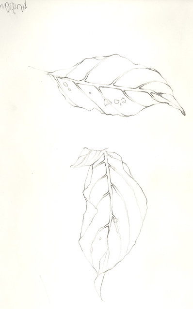 Contour Line Drawing Leaf : Leaf contour drawing flickr photo sharing