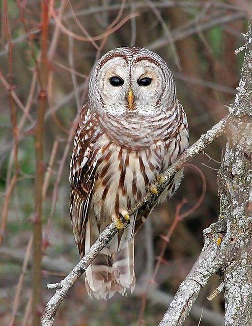 Barred Owl by Jim Sullivan