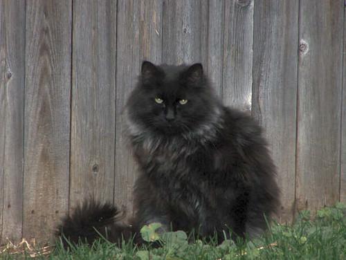 Declawed Cats Adoption Buffalo Ny