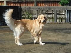 dog breed, animal, dog, pet, mammal, golden retriever,