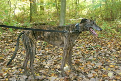 dog sports, animal, magyar agã¡r, dog, polish greyhound, whippet, galgo espaã±ol, sloughi, pet, lurcher, greyhound, carnivoran,