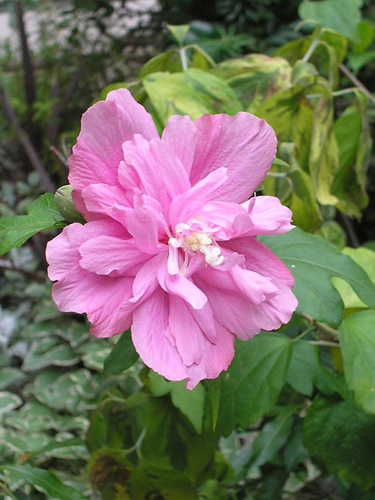 Purple Hibiscus Backyard Snob : PURPLE HIBISCUS FLOWER  PURPLE HIBISCUS  BIRTHDAY FLOWERS AND