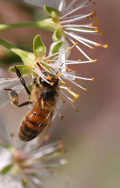 foto obligatorio abejas silvestres