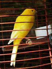 atlantic canary, animal, canary, yellow, pet, beak, bird,