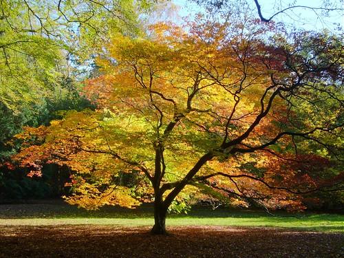 autumn trees england colour tree fall leaves season geotagged leaf maple arboretum gloucestershire westonbirt backlit soe westonbirtarboretum naturesfinest abigfave impressedbeauty geo:lon=2220097 thebacklitmaple geo:lat=51607064