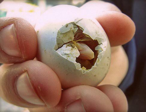 Pigeon Egg - Mookee