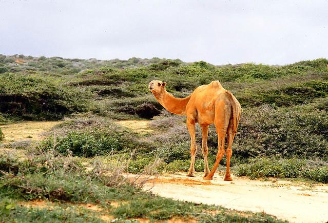 Try Somalia >> Somalia(1980) Marka - Camel alone (geel) | Flickr - Photo Sharing!