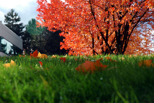 Microsoft view I love  - Orange and yellow fall leaves popping up in the grass, red leaves with black trunks in background, at Microsoft building 8 in Redmond, Washington state, USA by Wonderlane