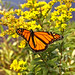 Monarch Butterfly 2406