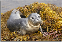 Lubec Harbor Seal