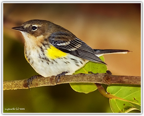 Yellow Rumped Warbler - Adult Male - Dendroica coronata