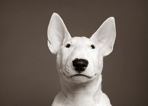 Puppy Bull Terrier! by Piotr Organa