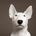 Puppy Bull Terrier!