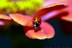 ladybug on a pink zinna petal    MG 2773