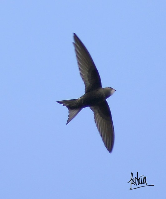 Avion común - Common Swift - Apus apus