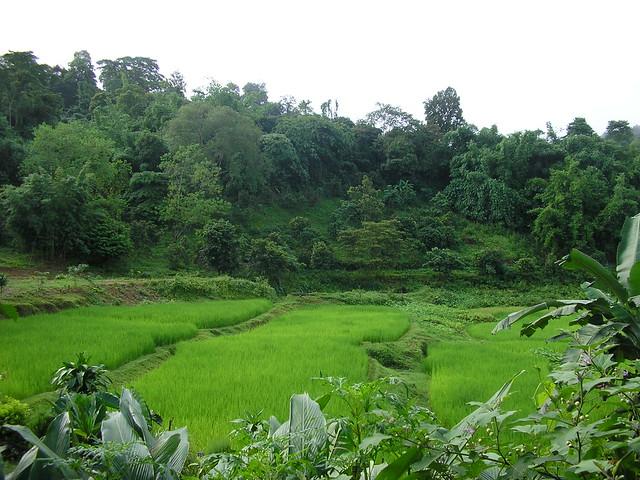 Campos de arroz en Chiang Rai