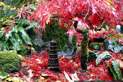 little pagoda under a little japanese maple tree    …