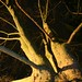 Small photo of Platanus occidentalis L.