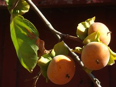Santa Rosa persimmons