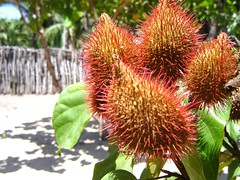 flower(0.0), thistle(0.0), produce(0.0), food(0.0), proteales(0.0), rambutan(1.0), plant(1.0), macro photography(1.0), flora(1.0), fruit(1.0),