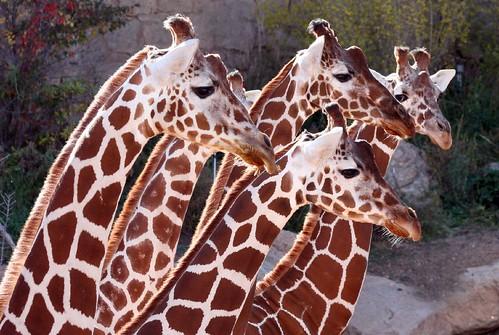 (Giraffe) Dinner?