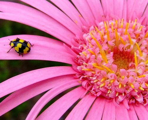 ladybug on gerbera