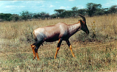 animal, prairie, antelope, plain, mammal, horn, hartebeest, common eland, grazing, fauna, meadow, pasture, savanna, grassland, safari, wildlife,
