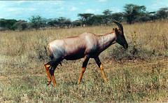 adventure(0.0), mare(0.0), wildebeest(0.0), gemsbok(0.0), herd(0.0), kudu(0.0), mustang horse(0.0), elk(0.0), impala(0.0), bongo(0.0), animal(1.0), prairie(1.0), antelope(1.0), plain(1.0), mammal(1.0), horn(1.0), hartebeest(1.0), common eland(1.0), grazing(1.0), fauna(1.0), meadow(1.0), pasture(1.0), savanna(1.0), grassland(1.0), safari(1.0), wildlife(1.0),