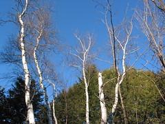 White paper birch