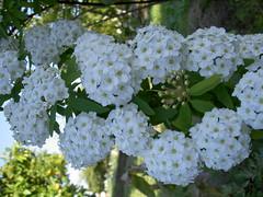 flower, plant, flora, viburnum,