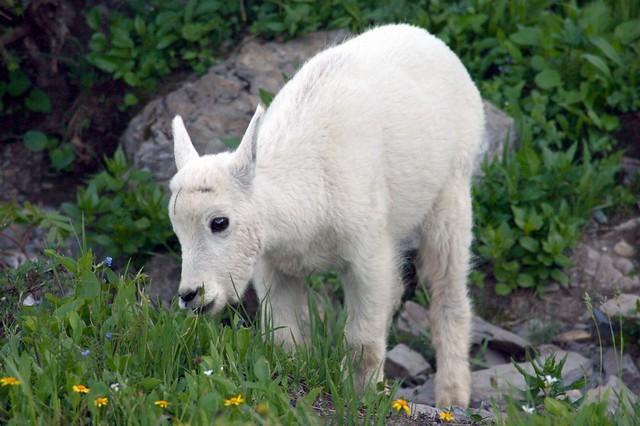 photoBaby Mountain Goat