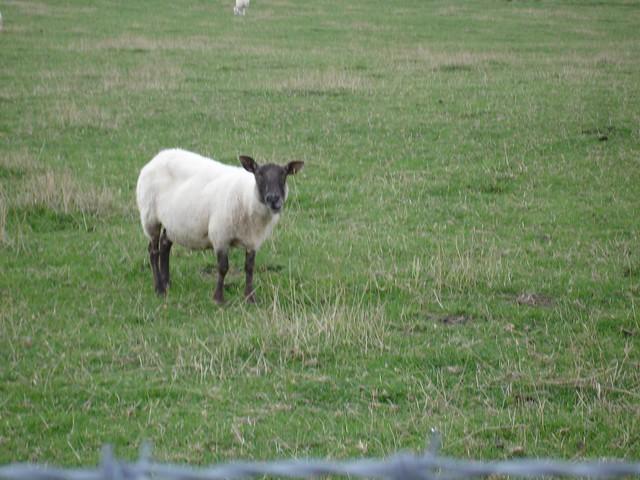 Evil sheep - photo#7