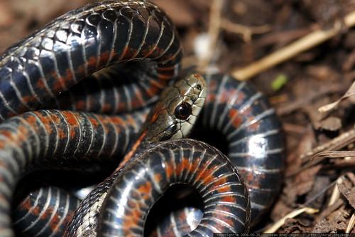 snake, safe in garden    mg 1341
