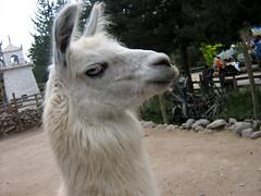 alpaca(0.0), camel(0.0), arabian camel(0.0), animal(1.0), zoo(1.0), llama(1.0), fauna(1.0), camel-like mammal(1.0),