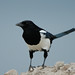 Magpie (Pica pica) by m. geven