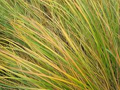 hordeum(0.0), einkorn wheat(0.0), barley(0.0), food(0.0), crop(0.0), lawn(0.0), plant stem(0.0), prairie(1.0), agriculture(1.0), grass(1.0), plant(1.0), chrysopogon zizanioides(1.0), hierochloe(1.0), green(1.0), grassland(1.0),