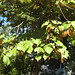 Large-leaved Lime - Photo (c) andreasbalzer, some rights reserved (CC BY-NC-SA)