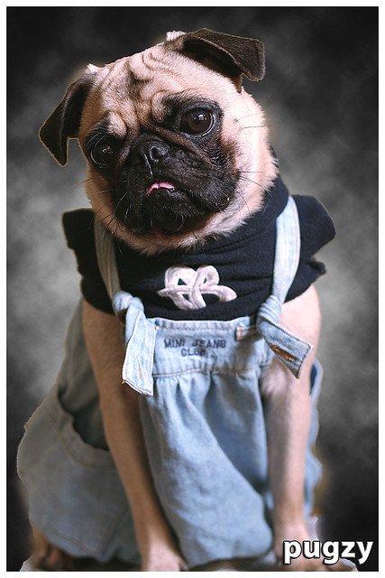 pugs wearing clothes a gallery on flickr