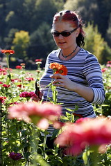 picking zinnia    MG 2467