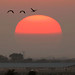 Sandhill Cranes at sunrise by Skip Hansen